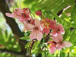 Cassia javanica flowers.jpg
