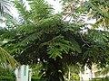 Cassia nodosa.JPG