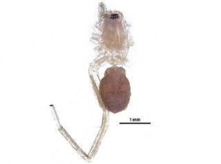 <i>Castianeira gertschi</i> Species of spider