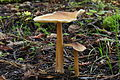 Caulorhiza umbonata 35177.jpg