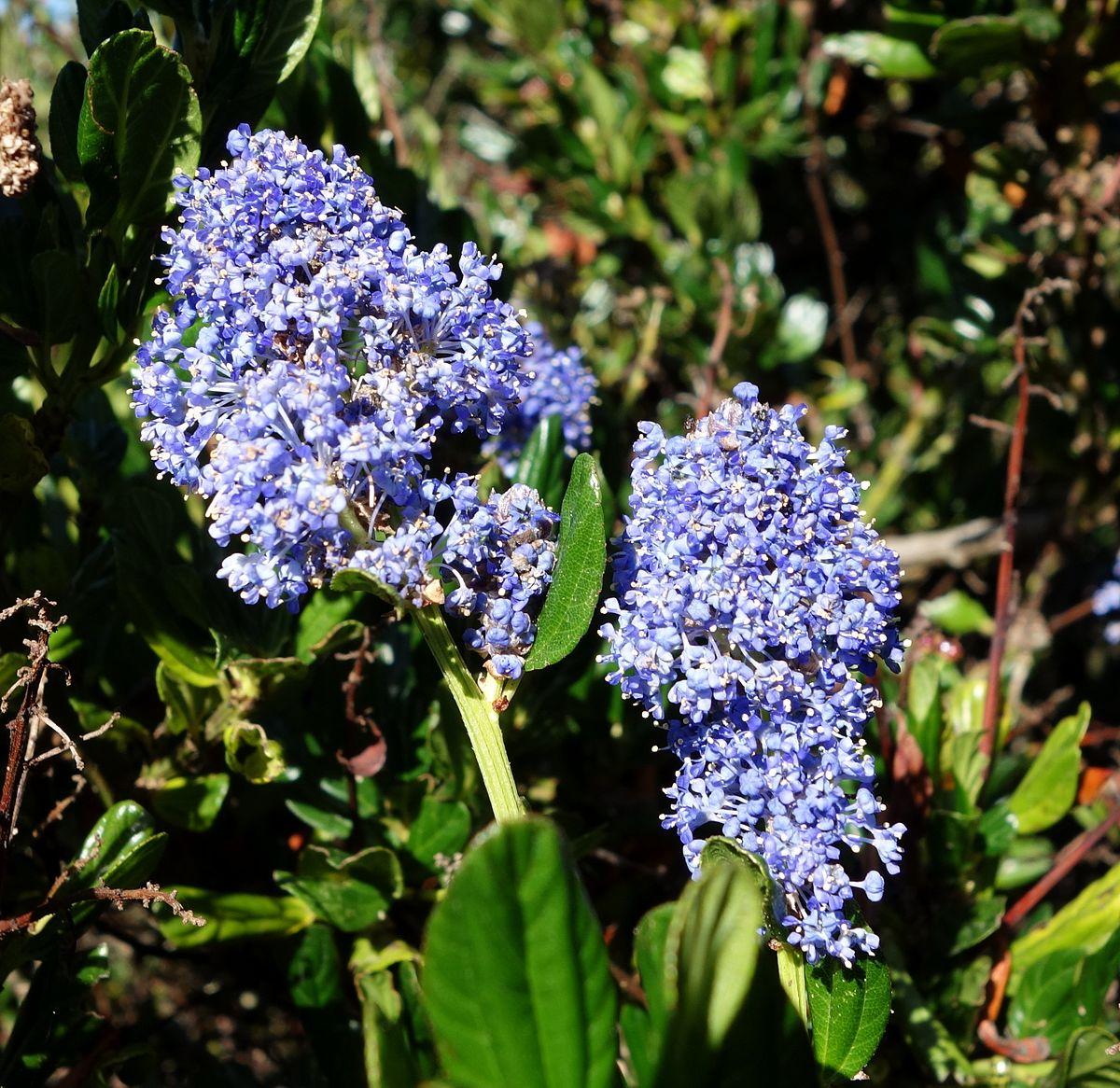 Ceanothus Gloriosus Wikipedia