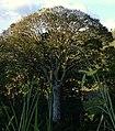 Ceiba (Ceiba pentandra) (14813347747).jpg