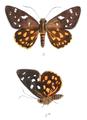 CelaenorrhinusClitusM 758 3.png
