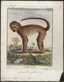 Cercocebus fuliginosus - 1700-1880 - Print - Iconographia Zoologica - Special Collections University of Amsterdam - UBA01 IZ19900141.tif