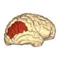 Cerebrum - Inferior parietal lobule - lateral view.png