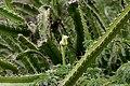 Cereus species is it W IMG 0744.jpg