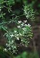 Chaerophyllum bulbosum 4.jpg