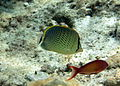 Chaetodon guttatissimus Maldives.JPG