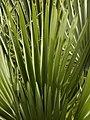 Chamaerops humilis (leaves).jpg
