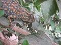 Chameleon Libya.jpg