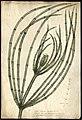 Chara vulgaris 1844 varley.jpg