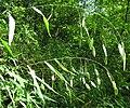 Chasmanthium latifolium.jpg