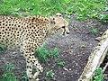 Cheetah (7613209856).jpg