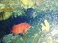 Cheilodactylis spectabilis P2153813.JPG
