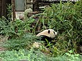 Chengdu Research Base of Giant Panda Breeding, 201907, 05.jpg