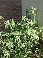 Chenopodium vulvaria sl3.jpg