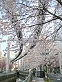 Cherry blossoms and monorail in Chiba City.jpg