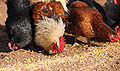 Chickens eating.jpg