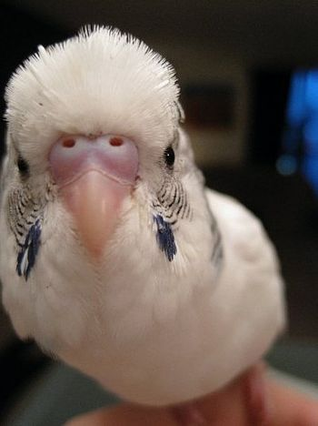 English: This is a young domesticated budgie. ...