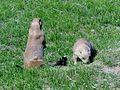 Chien de prairie à queue noire ( Cynomys ludovicianus) (1).jpg