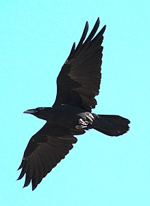 Chihuahuan Raven in flight bottom view 2.jpg