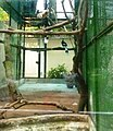 Chim hồng hoàng tại Sở thú.JPG