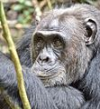 Chimpanzee, Kigale, Uganda (15320845832).jpg
