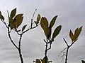Chionanthus virginicus 11zz.jpg