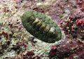 Chiton mauritianus.jpg