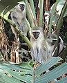 Chlorocebus pygerythrus, Burmanbos Natuurreservaat.jpg