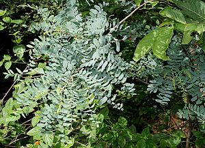 Sapindales - Chloroxylon swietenia from Rutaceae