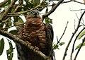 Chondroierax uncinatus (Caracolero selvático) - Flickr - Alejandro Bayer (4).jpg