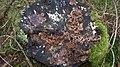 Chondrostereum purpureum 62177174.jpg