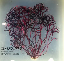 Chondrus elatus - National Museum of Nature and Science, Tokyo - DSC07637.JPG