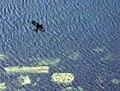 Chough above Bay Stacka - geograph.org.uk - 25502.jpg