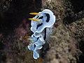 Chromodoris dianae (32021202214).jpg