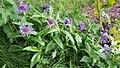 Chrpa horská – Centaurea montana (01).jpg