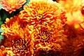 Chrysanthemum Argos Orange 0zz.jpg