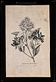 Cinchona plant, flowering & fruiting stem Wellcome V0044031EL.jpg