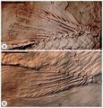 Cipactlichthys scutatus medial fins.tif