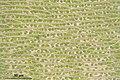 Cirriphyllum piliferum (d, 144837-474708) 6683.JPG