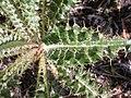 Cirsium canovirens (C. subniveum) (4413270317).jpg