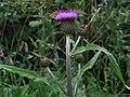 Cirsium heterophyllum 4 RF.jpg