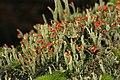 Cladonia sp. (39278795931).jpg