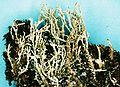 Cladonia squamosa-2.jpg