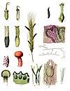 Claviceps purpurea - Köhler–s Medizinal-Pflanzen-185.jpg