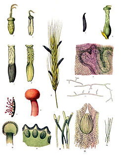 Ergot group of fungi of the genus Claviceps
