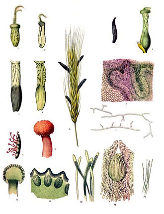 Ergot - Claviceps purpurea