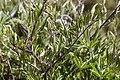 Clematis hirsutissima - Flickr - aspidoscelis (2).jpg