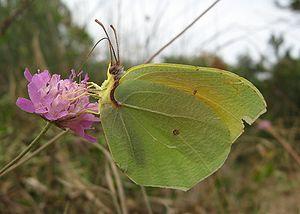 Cleopatra butterfly menorca